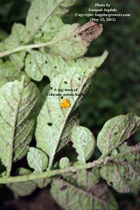 """""""The egg mass of Colorado potato beetle is yellow in color"""""""