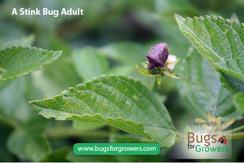 Stink bugs are polyphagous insect pests