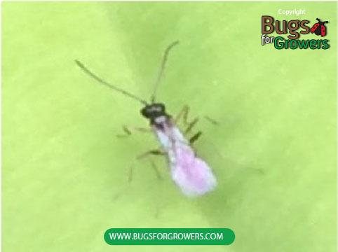Aphidius colemani are parasites of aphids