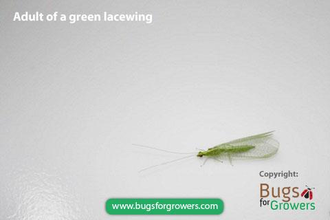 Green lacewings, Chrysoperla rufilabris