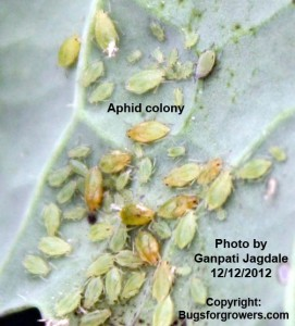 Aphid colony