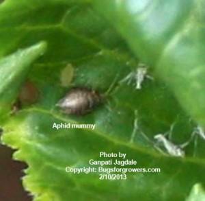 Aphid Killer Aphidius colemani wasp parasitized aphid mummy
