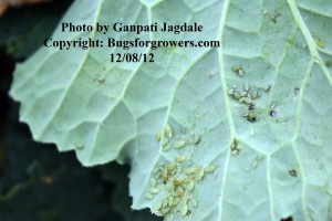 Aphids feeding on a collard green leaf