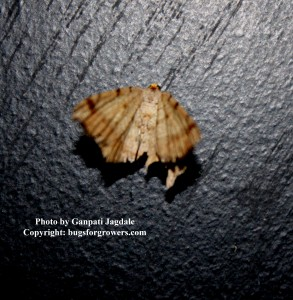 """Armyworm moth"""