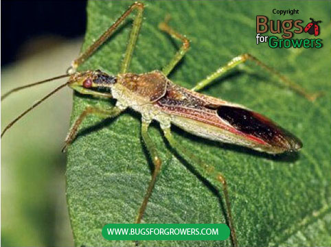Adult of assassin bug used as predatory insect to control pest insects