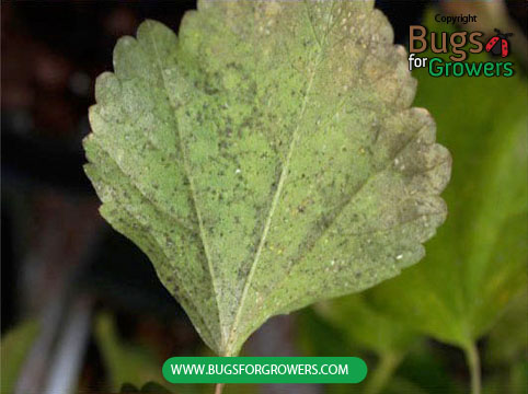 Black sooty mold can cover entire leaf surface and affect the photosynthesis