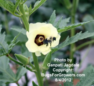An okra flower visited by a bumblebee