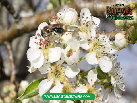 Bumblebees used for pollination of fruit crops