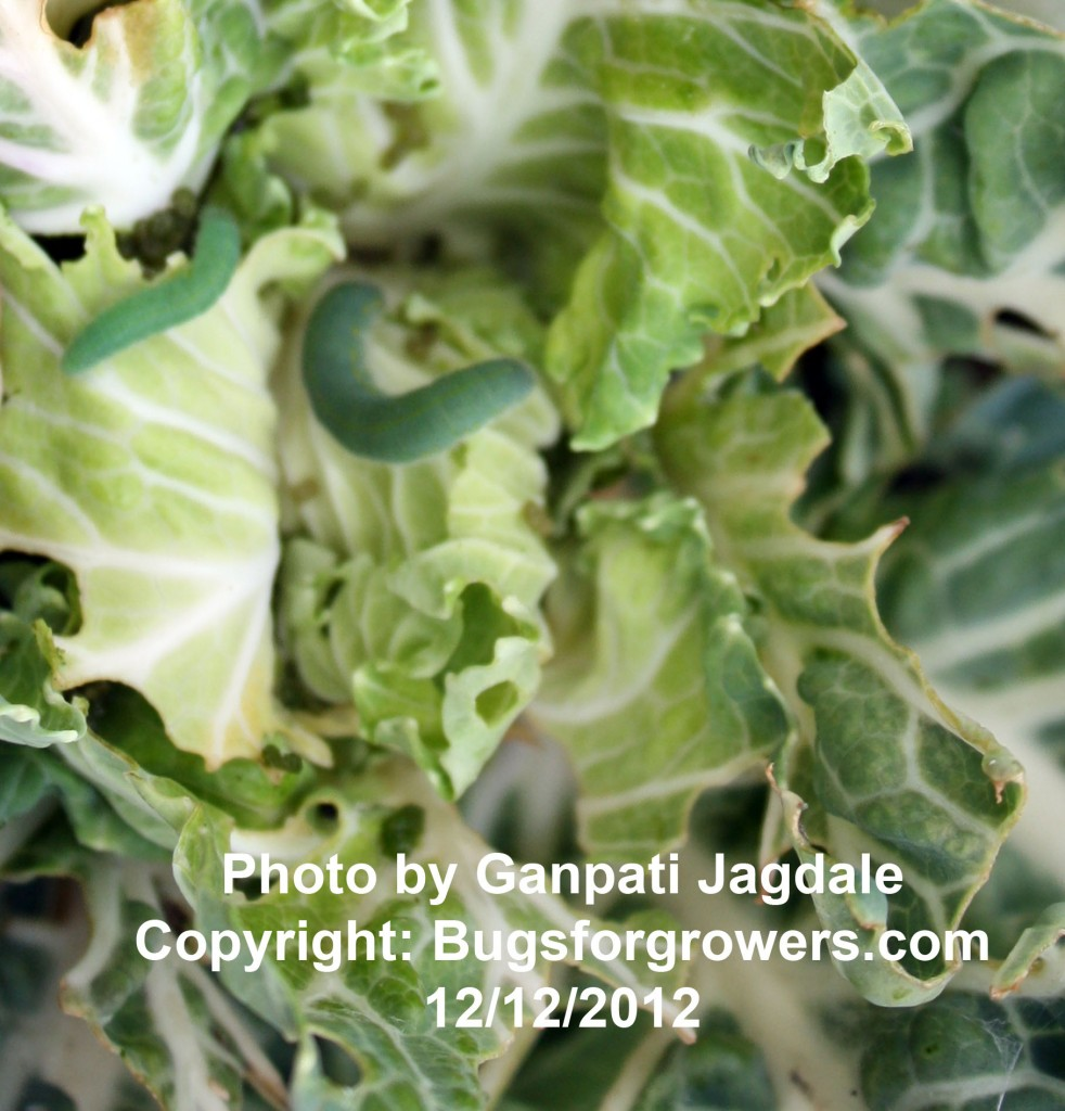 The caterpillar of imported cabbageworm feeding on the growing point of cabbage