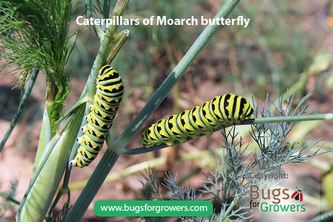 Caterpillars of Monarch butterfly