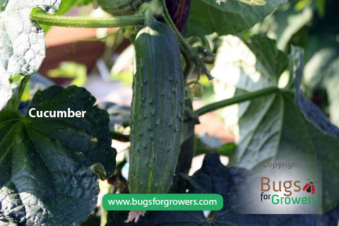 Aphids can transmit cucumber mosaic virus to cucumbers
