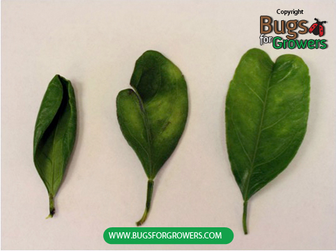 Folding of leaves due to thrips damage