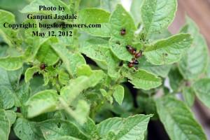 """The different instars of Colorado potato beetle grubs"""