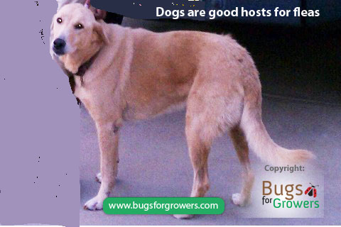 Dogs are the most susceptible hosts of the fleas