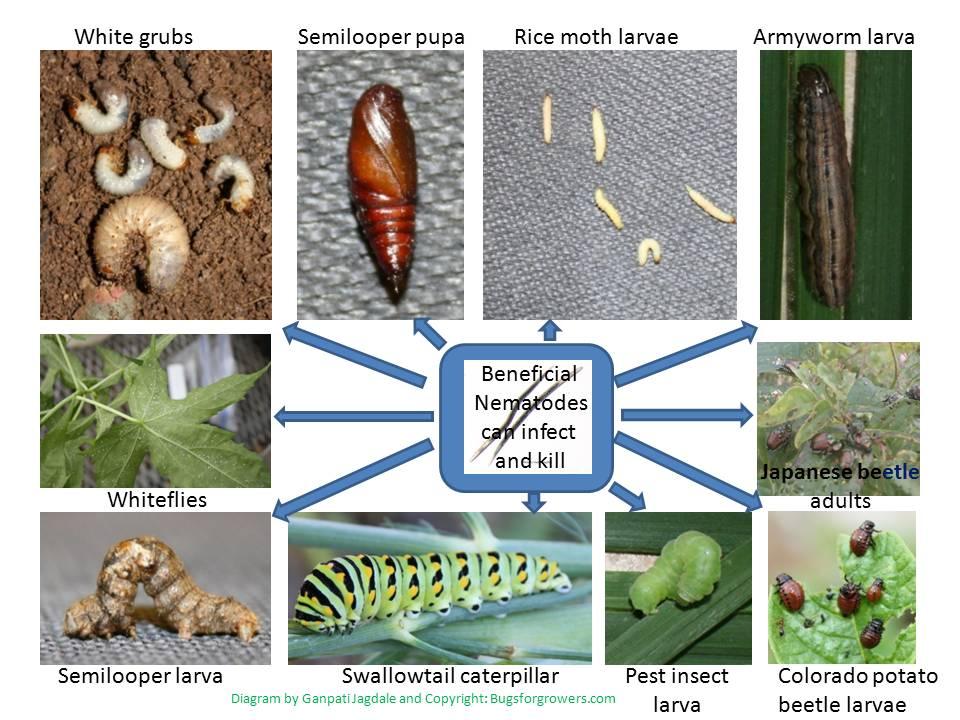 Vine Weevil Life Cycle Diagram