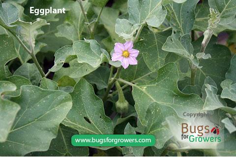Aphis gossypii aphids feed on eggplants