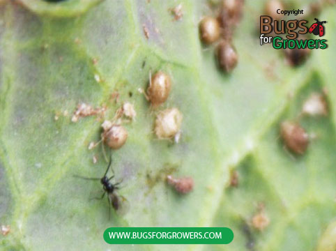 Adults of waps will emerge from these aphid mummies