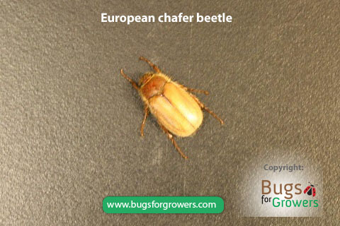 Adult of European Chafer Beetle