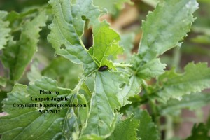 """Flea beetles are pests of radish"""