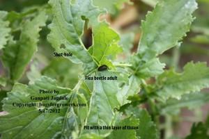 Flea beetle adult