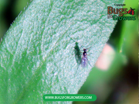Fungus gnat adult