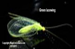 Green lacewings are predators of aphids