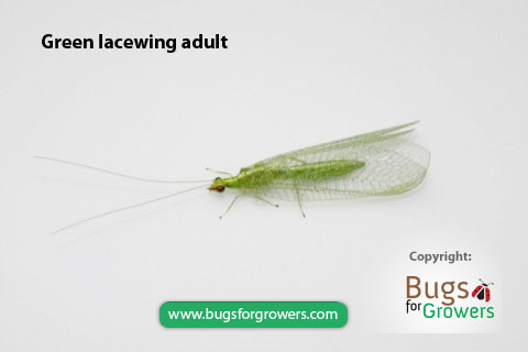 Only larvae of green lacewing are predators of Aphis gossipy