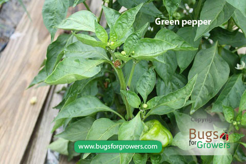 Aphis gossypii aphids feed on green peppers