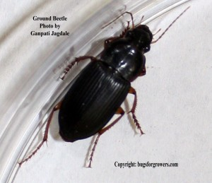 """Ground beetles are predators of insect pests"""