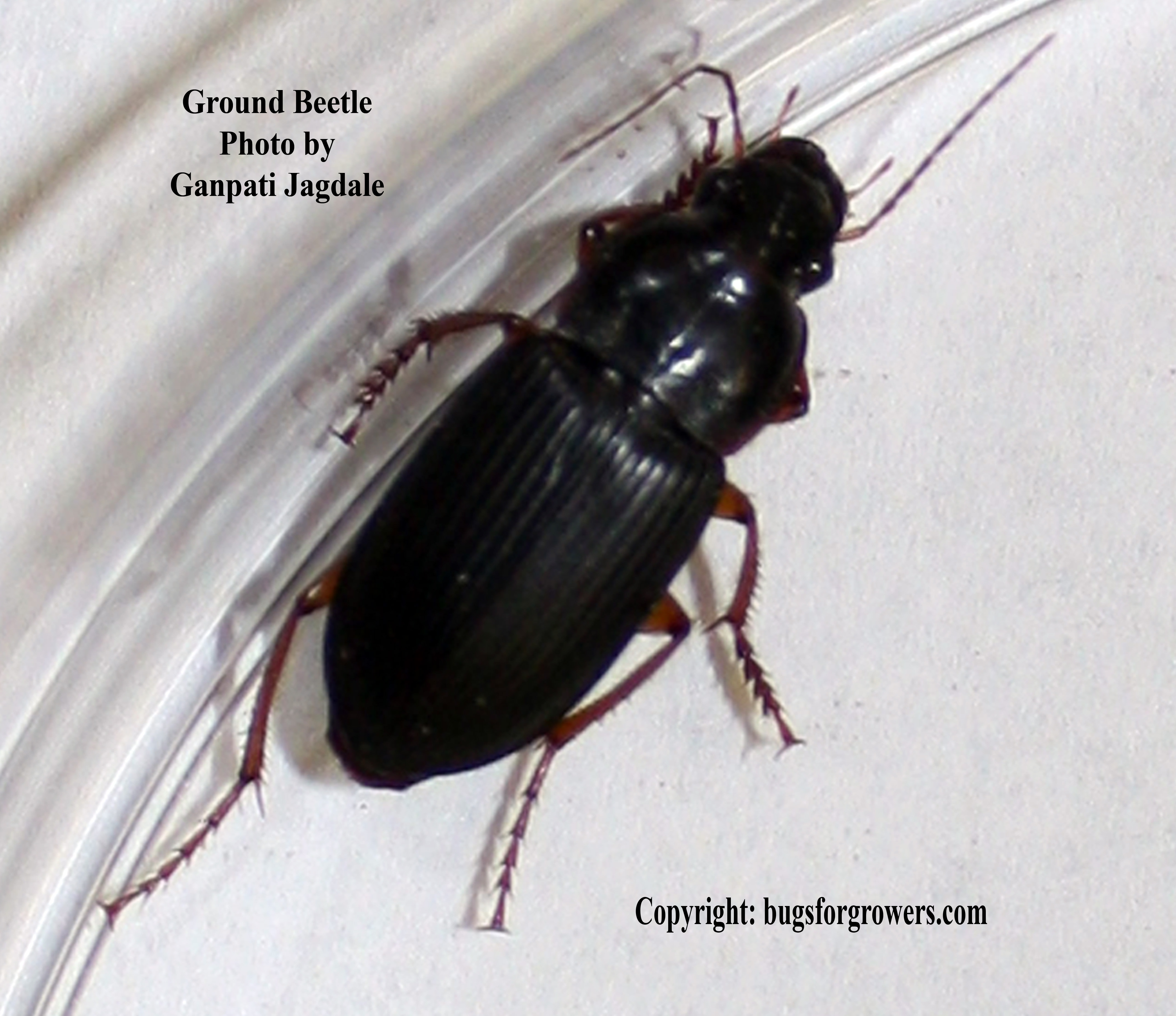 Ground beetles are predators of insect pests. Bugs for Growers  Natural enemies can take care of chinch bugs