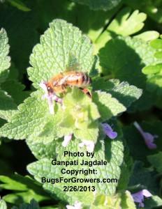 Honeybee visiting a weed flower