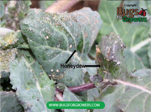 Aphids cause indirect damage to host leaves by secreting honeydew on the surface of leaves