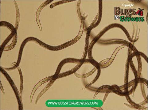 Steinernema carpocapsae nematodes