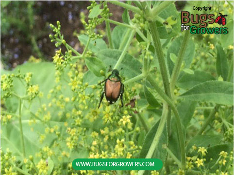 Japanese beetle feeding on Foliage