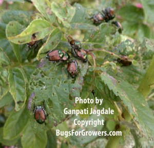 Metallic Green colored Japanese Beetles