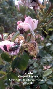 """The Japanese beetles feeding on roses"""