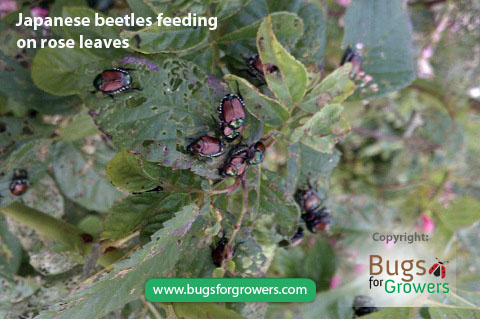 Adults of Japanese beetles feed on plant leaves