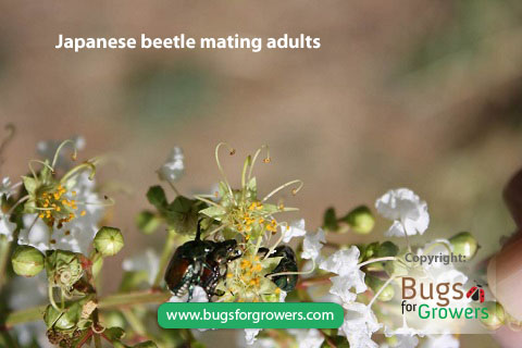 Mating of Japanese Beetles