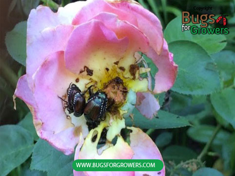 A rose flower damaged by Japanese beetle
