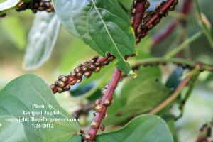 """Kudzu bugs on Chinese long bean pods"""