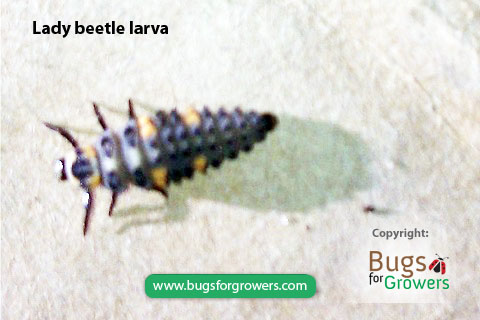 Lady beetle adults and their larvae are predators of aphids