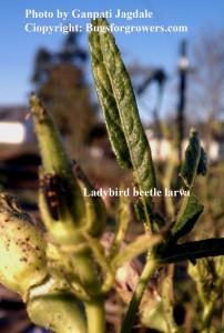 """The ladybug larva"""