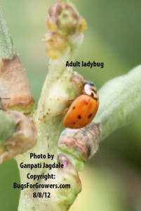 Ladybugs are predators of aphids
