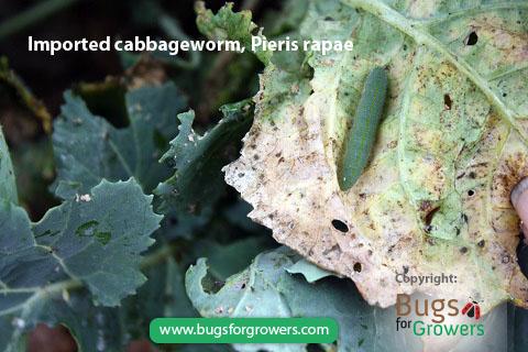Larva of imported cabbageworm Pieris rapae