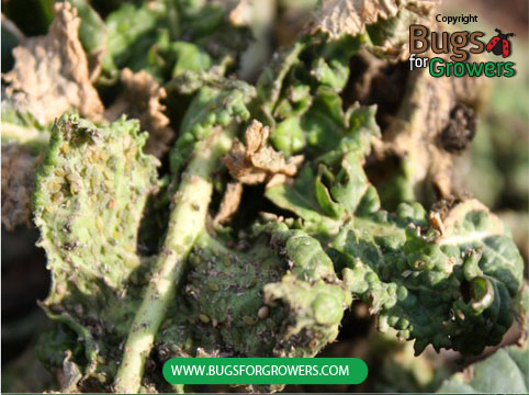 Feeding damage by aphidsYellowing, curling and drying of collard green leaves