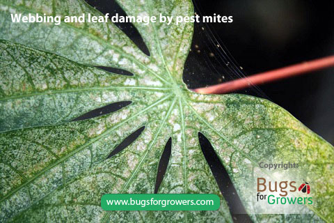 Pest mites