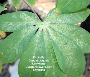 Predatory mite Amblyseius swirskii can reduce damage by spider mites