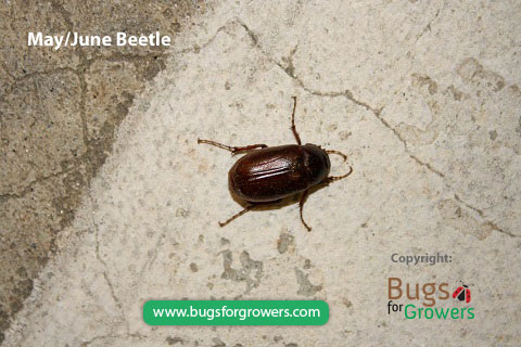 May/June beetles are Attracted to light