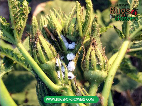Mealybugs feeding on okra plants