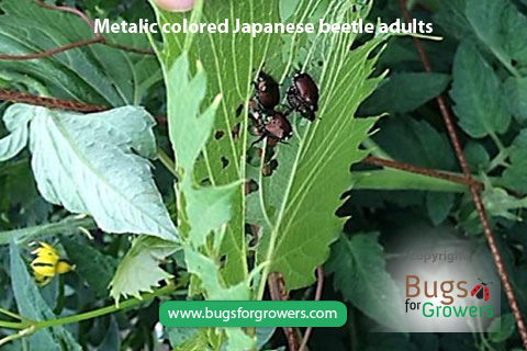 Adults of Japanese beetles
